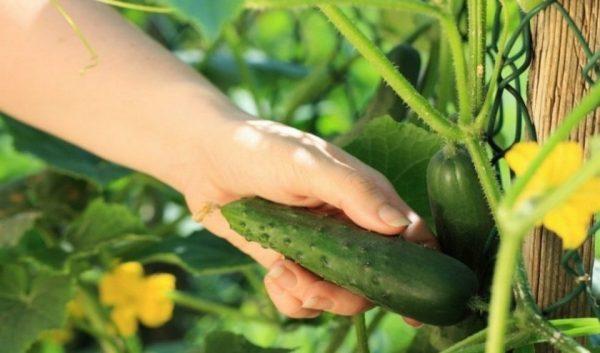 cucumber9