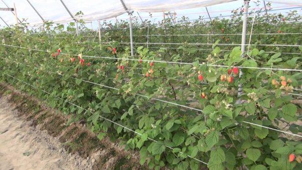 raspberries3