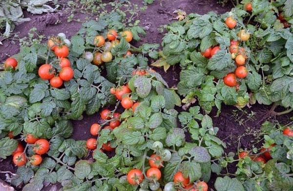 tomato2-1