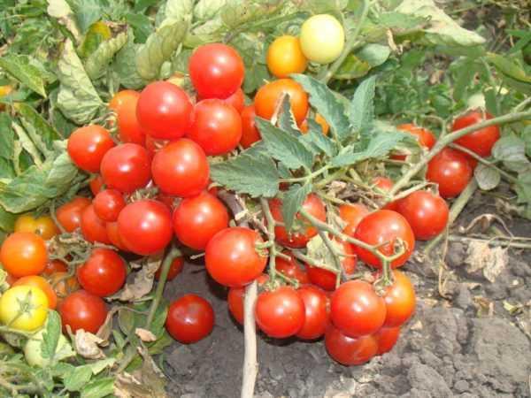 tomato3-1