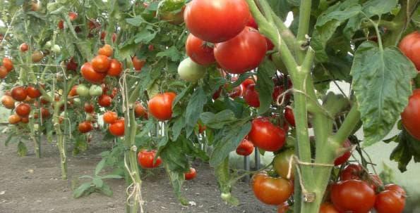 tomato5-1