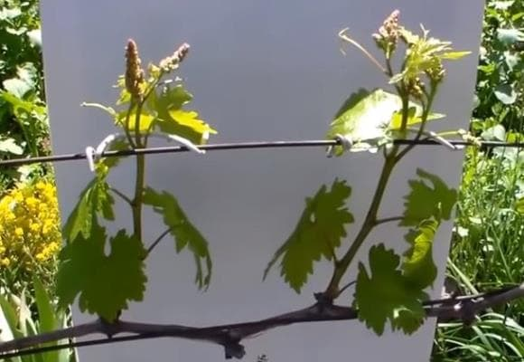 vineyard_may5