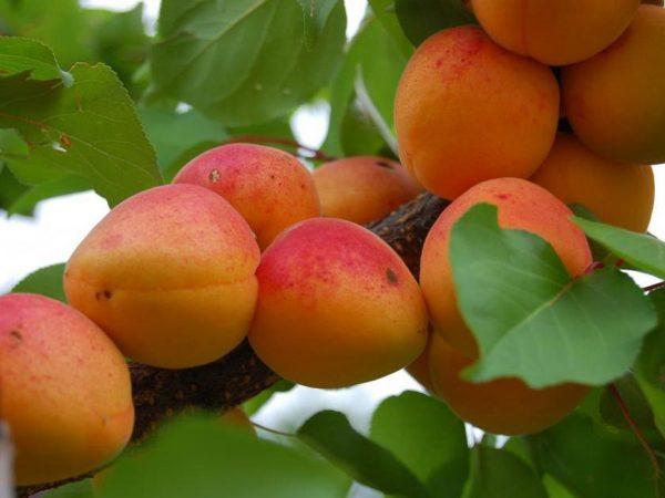Privivka-abrikosa-letom2