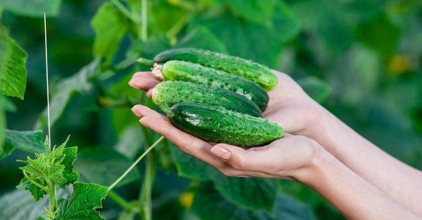 cucumber8