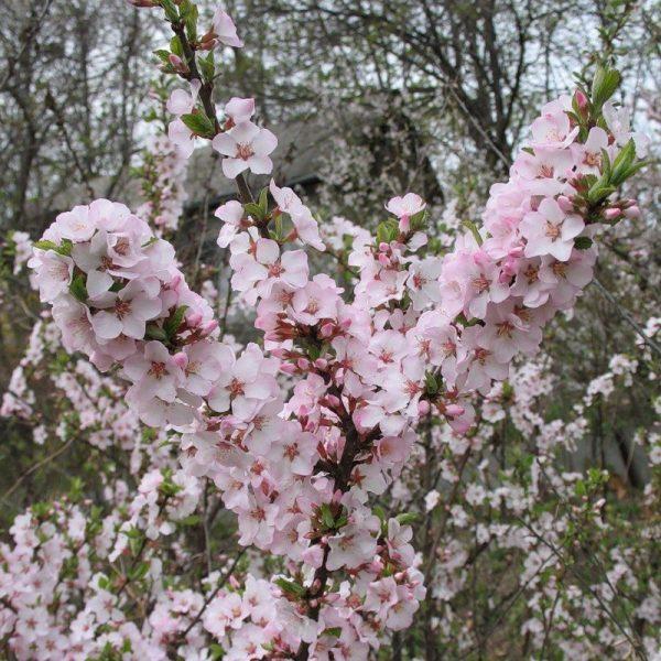 cvety-voylochnoy-vishni