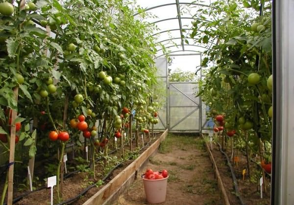 urozhay_pomidor3