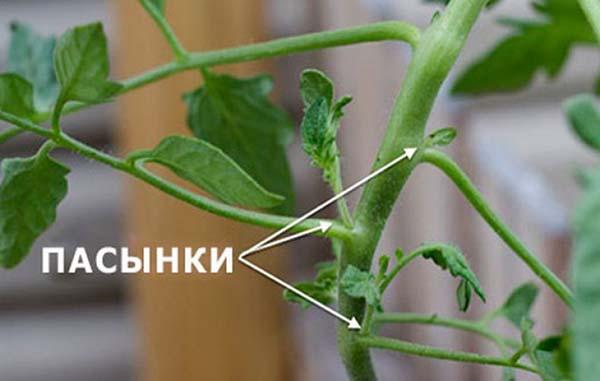 urozhay_pomidor7