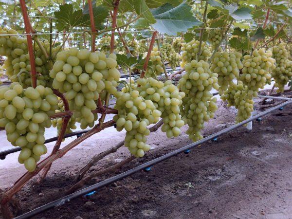 vinograd_v_iyule6
