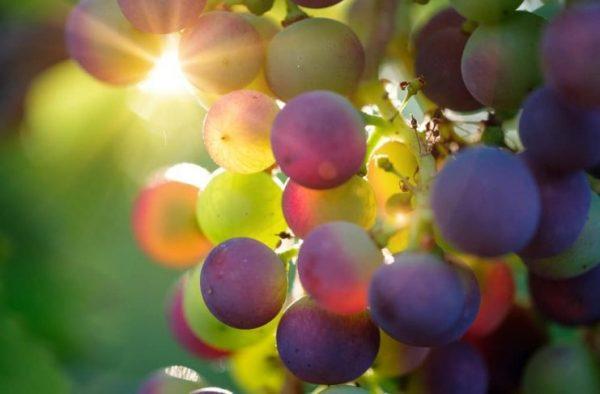 august_grape