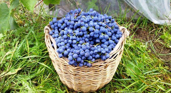 august_grape4
