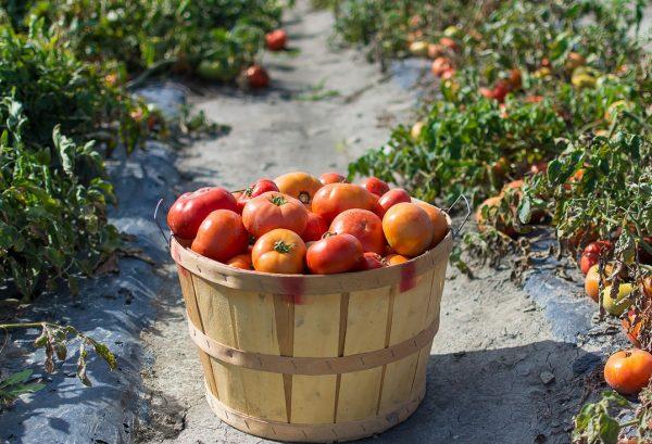 sbor_pomidor2