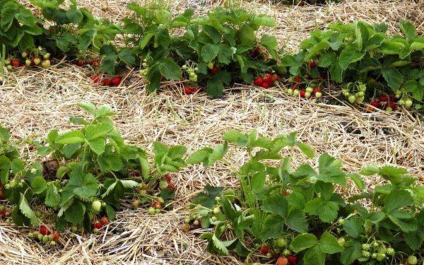 strawberries7