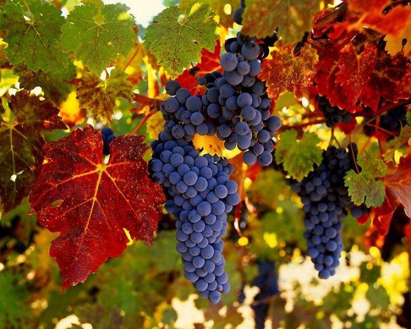 vinogradnik_osenyu