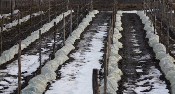 vinogradnik_osenyu6