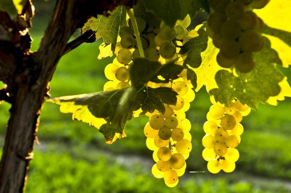 vinogradnik_osenyu7