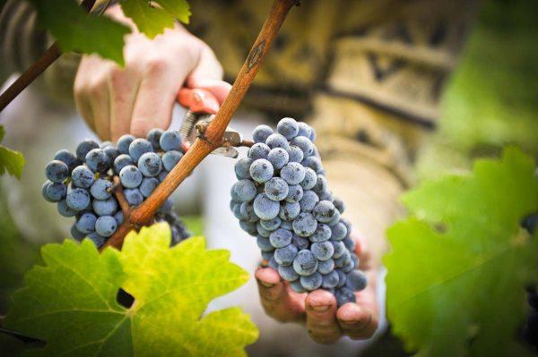 vinogradnoe_vino_v_domashnih_usloviyah2