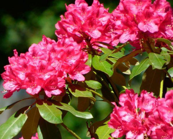 rododendroni_virashivanie