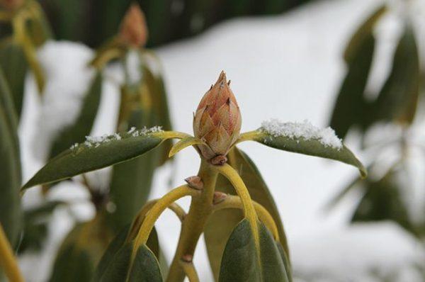 rododendroni_virashivanie2