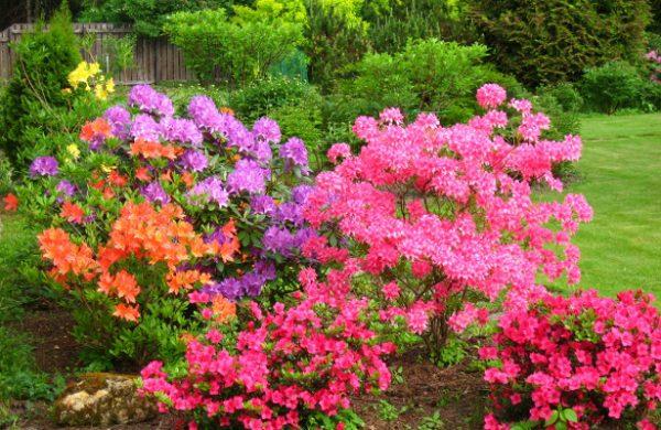 rododendroni_virashivanie4