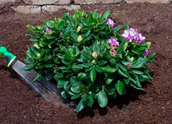 rododendroni_virashivanie6