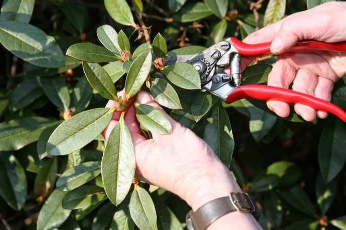 rododendroni_virashivanie7