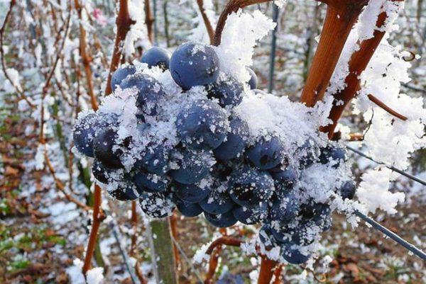 vinogradnik_k_zimovke