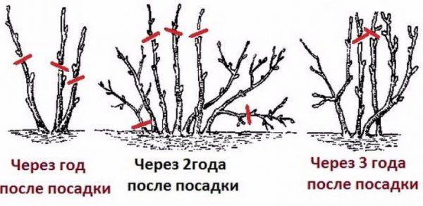 obrezka_smorodini2