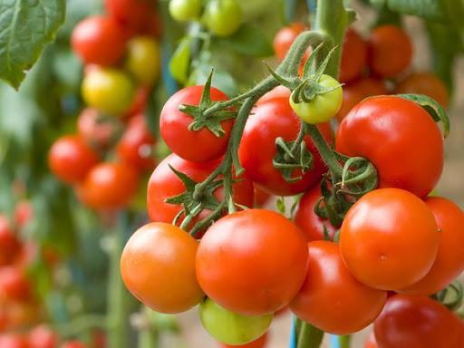 chto_sadity_ryadom_s_tomatami