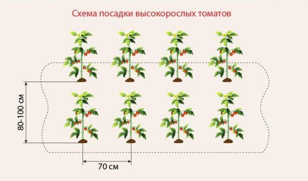 tomati_na_gryadke4