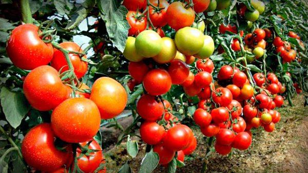 kak_sformirovaty_kust_tomata