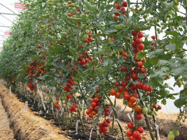 kak_sformirovaty_kust_tomata2