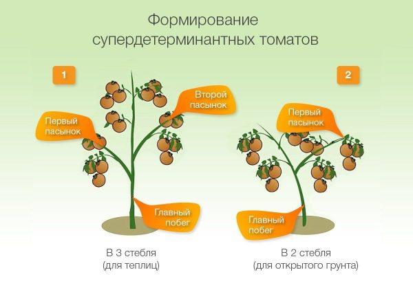 kak_sformirovaty_kust_tomata6