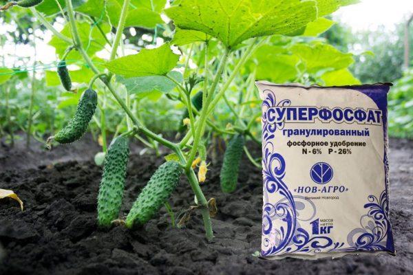 vnekornevaya_podkormka_ogurzov3