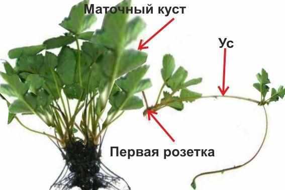 chto_delaty_s_usami_klubniki4