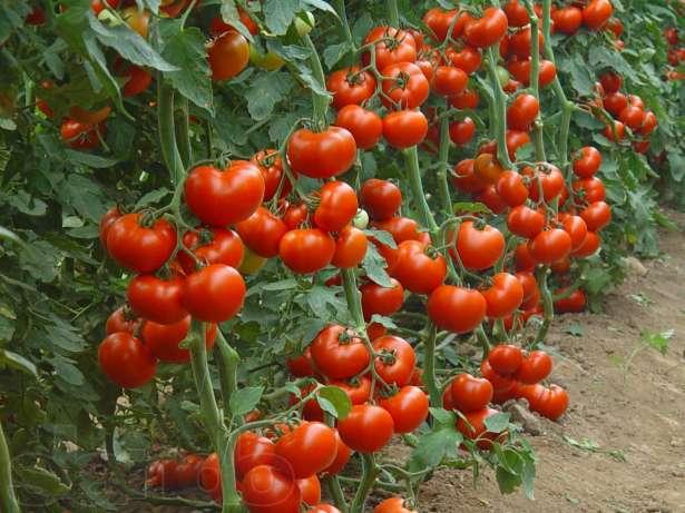podvyazka_visokoroslih_tomatov