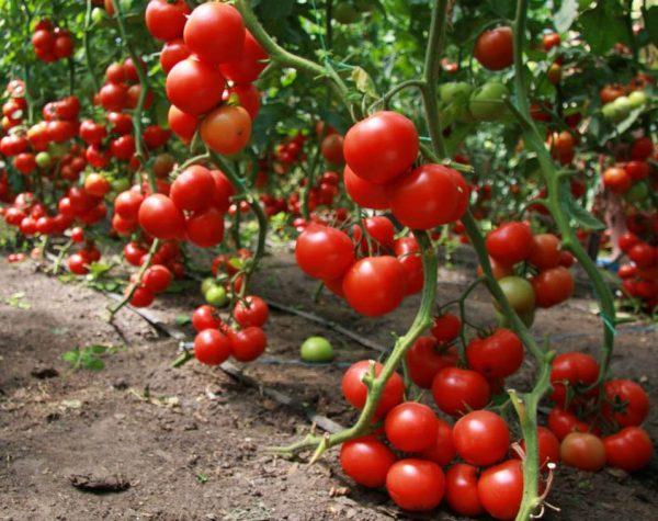 tonkosti_virashivaniya_pomidor