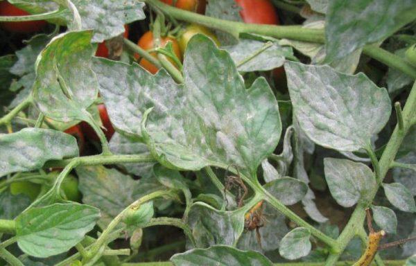 tonkosti_virashivaniya_pomidor2-1