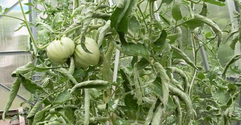 tonkosti_virashivaniya_pomidor6
