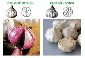 ozimiy_chesnok-1