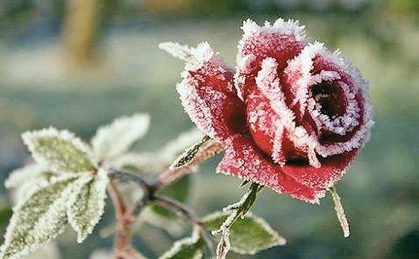 podgotovka_rozi_k_zime