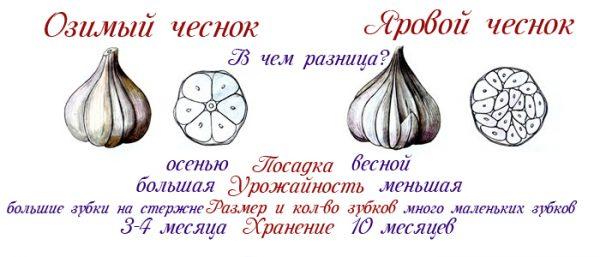 posadka_chesnoka_v_zimu2