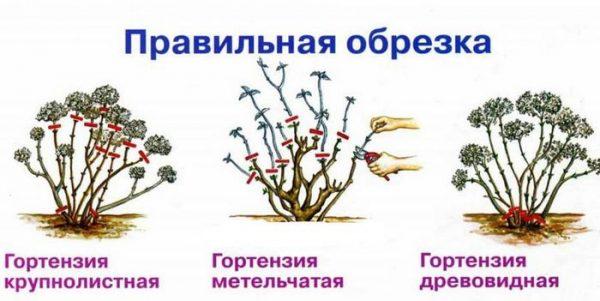 provodity_obrezku_gortenzii3