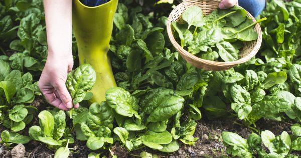 Сбор урожая шпината