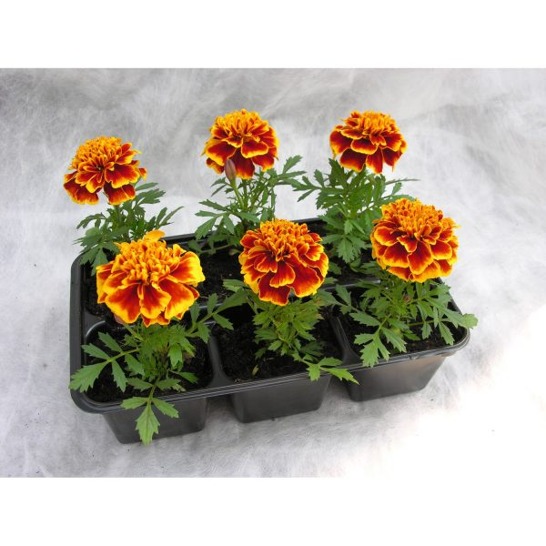 22571-tagetes-krupnyj-6-sht-up