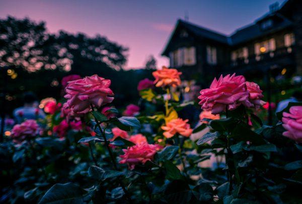 Вечер - лучшее время для полива роз
