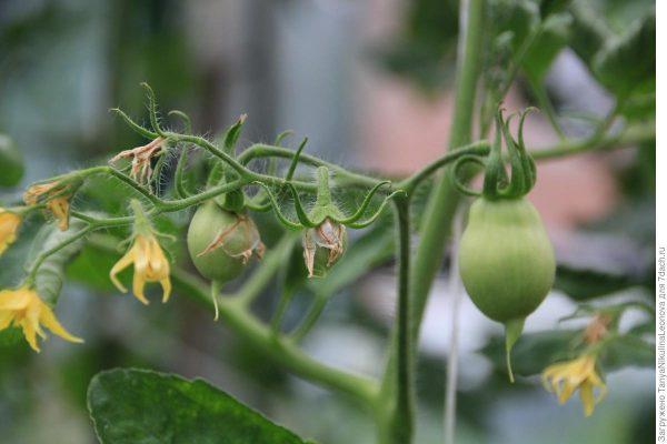 Завязи у томатов