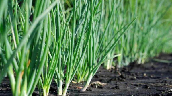 Почва для лука-батуна