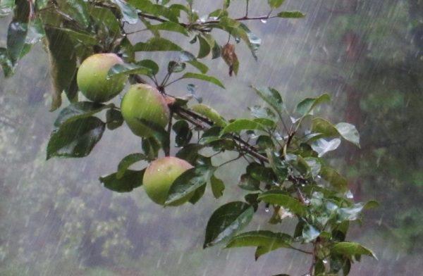 Неблагоприятные условия для яблони