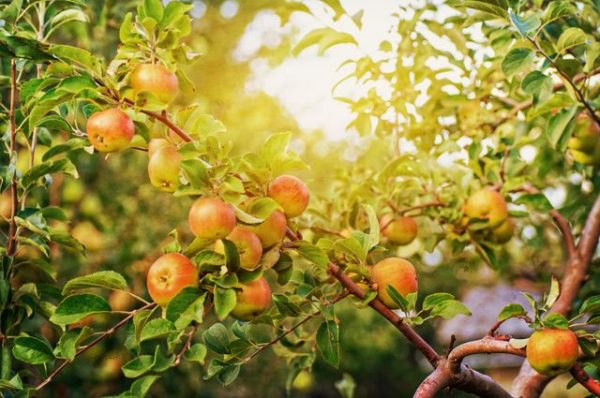 Повреждение плодовых деревьев из-за высоких температур