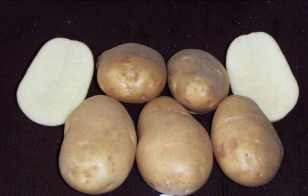 """Сорт картофеля """"Чародей"""""""